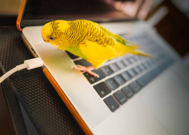 Budgerigar parakeet standing on a key board of a laptop computer looking at the power cable with curisoity stock photo