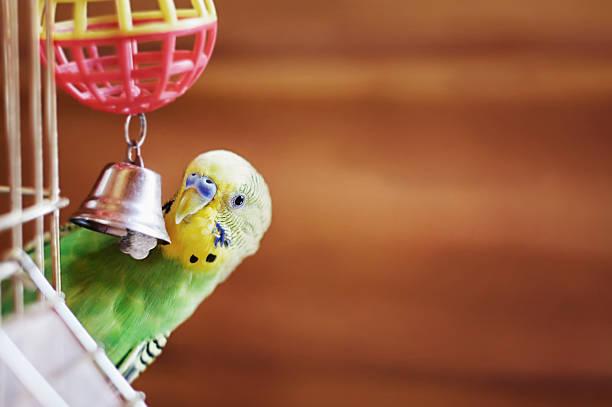 periquito - pájaro fotografías e imágenes de stock