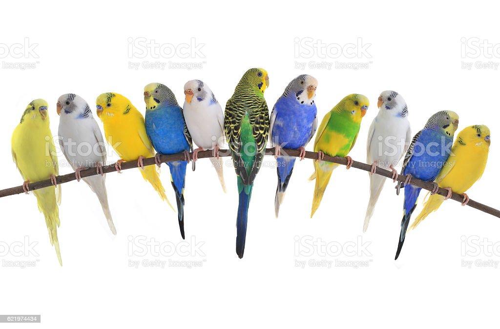 budgerigars australian parakeets stock photo