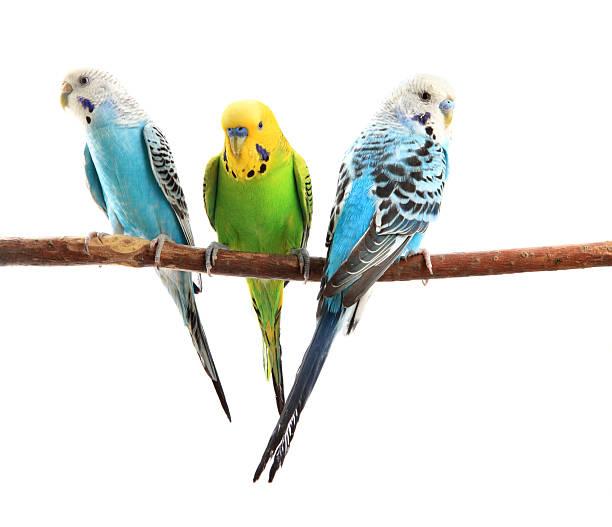 budgerigars - neerstrijken stockfoto's en -beelden
