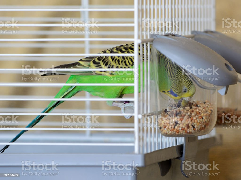 Budgie Bird in Cage Feeding stock photo