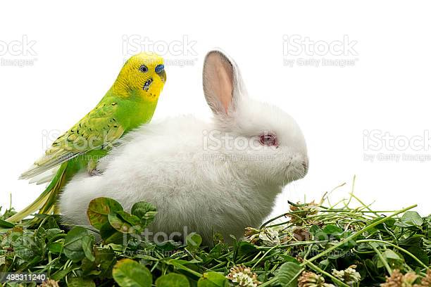 Budgie on rabbit picture id498311240?b=1&k=6&m=498311240&s=612x612&h=tbpfrehitj3ixpjhmhdqz9u9sdv6yjnmk6gdnk1o 4y=