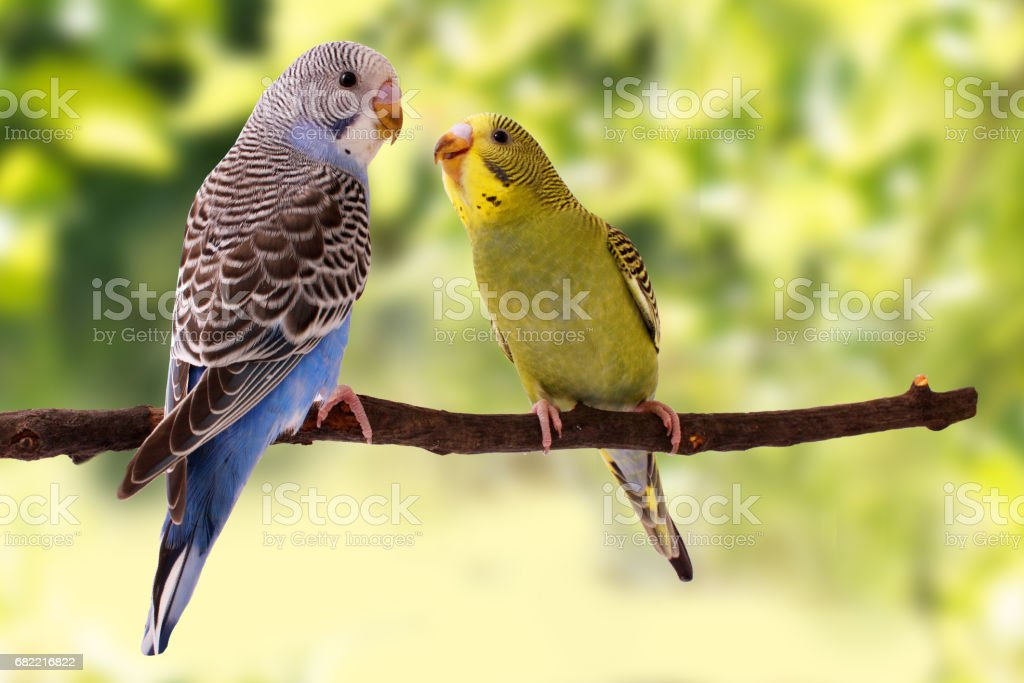 budgies are in the roost on the green background stock photo