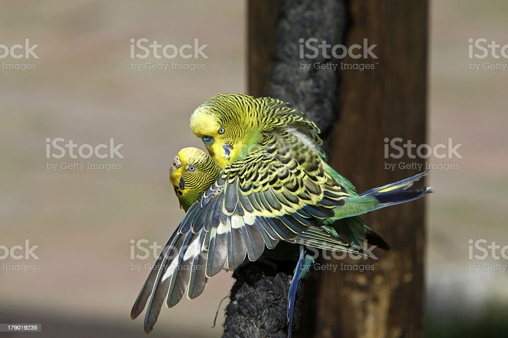 Budgies In Mating Stock Photo - Download Image Now - iStock