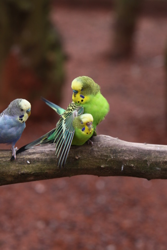 Budgies Mating Stock Photo - Download Image Now - iStock