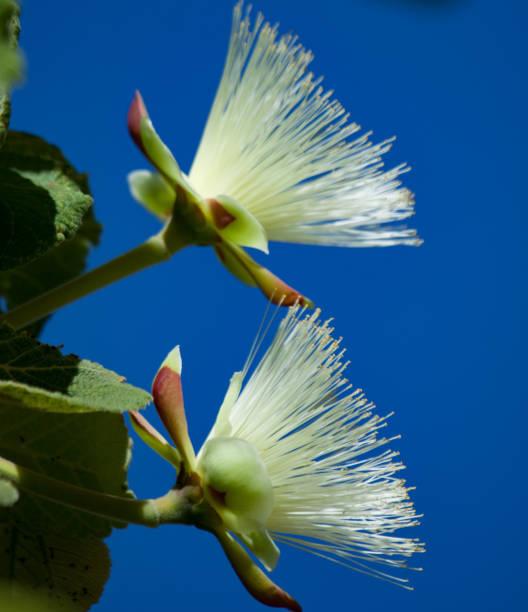 brotos e flores de pequi ou 'souari nut' (caryocar brasiliense) contra o céu azul. - pequi - fotografias e filmes do acervo