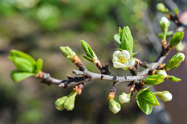 buds and flowers on a branch of a cherry plum stock photo