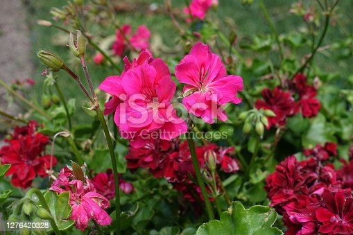 Buds and pink flowers of ivy-leaved pelargonium in July