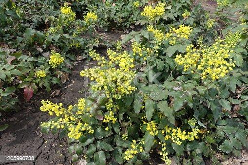 Buds and yellow flowers of Mahonia aquifolium in April