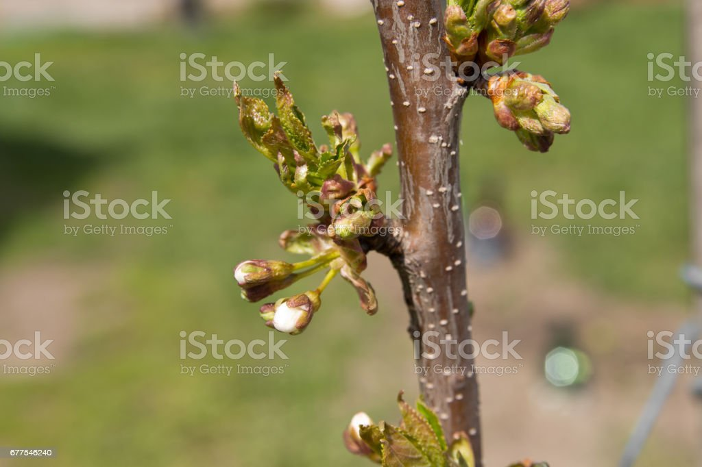Buds and young leaves on the cherry tree trunk closeup. Tree texture. Selective focus. royalty-free stock photo