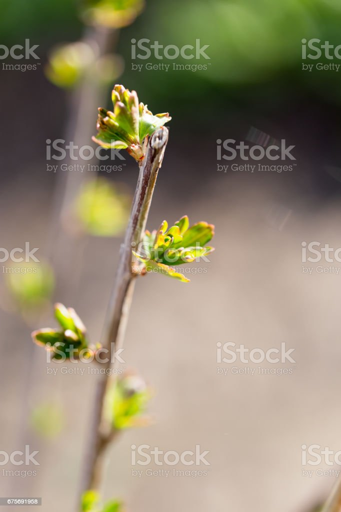 Buds blossom on a tree branch royalty-free stock photo