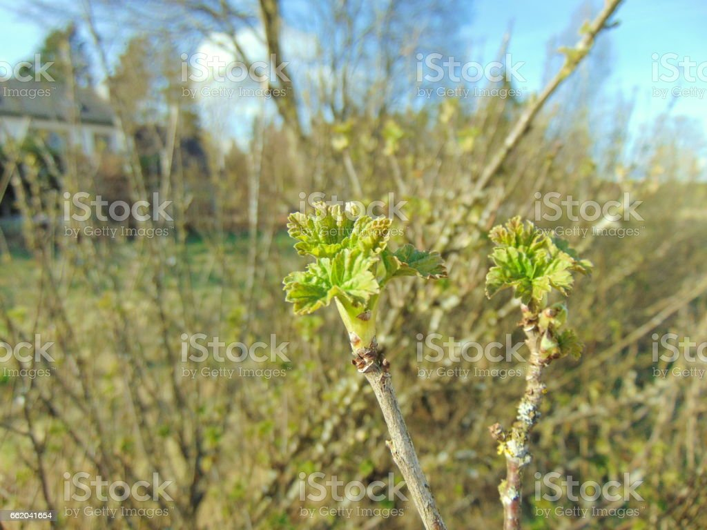 Buds growing on trees in spring royalty-free stock photo