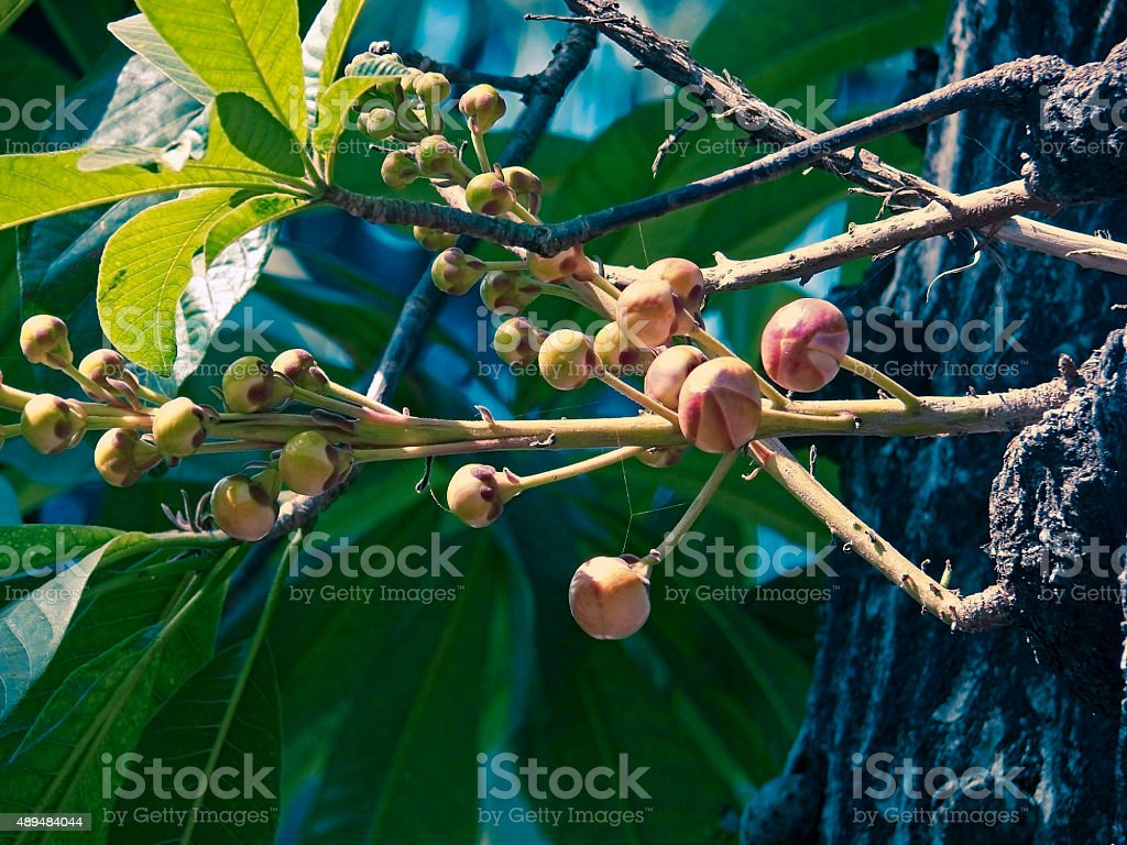 Buds of Cannon Ball Tree, Couroupita guianensis stock photo