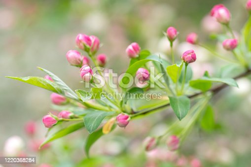 Buds of Crab apple flowers