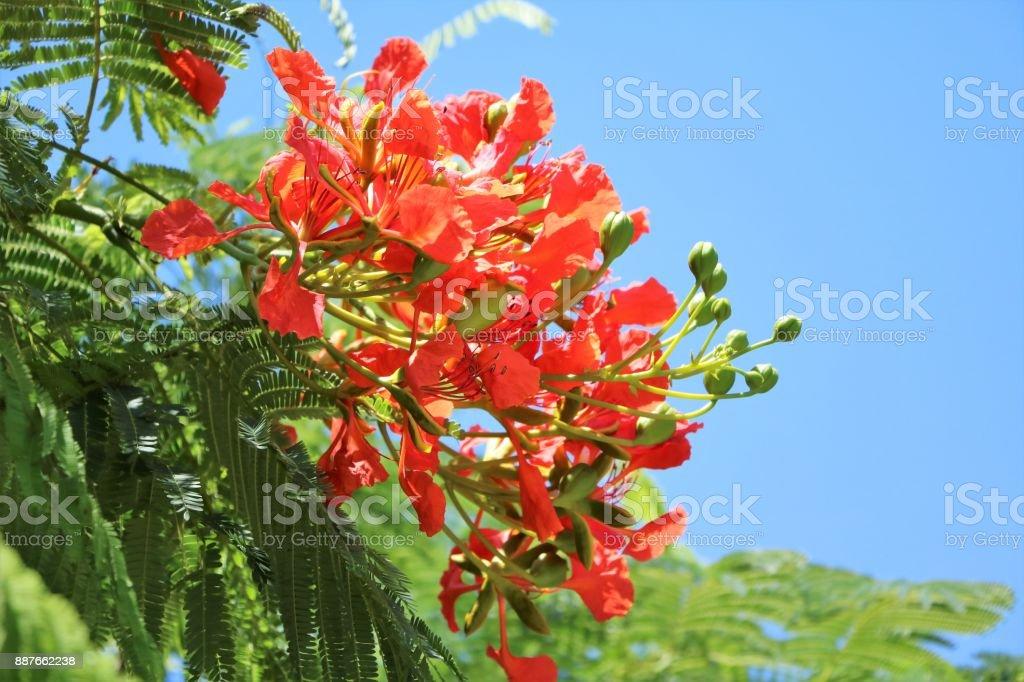 Buds of Delonix regia in summer, Queensland Australia stock photo