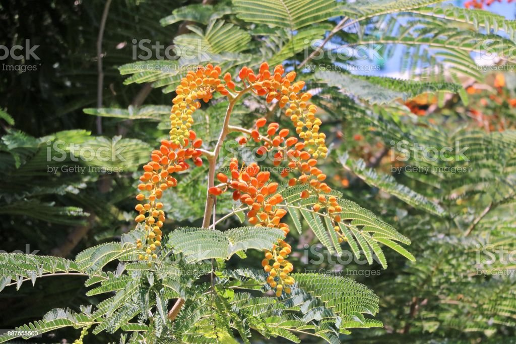 Buds of Flame tree in summer, Queensland Australia stock photo