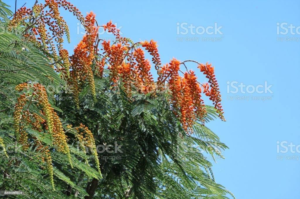 Buds of Flame tree or Delonix regia in summer, Queensland Australia stock photo