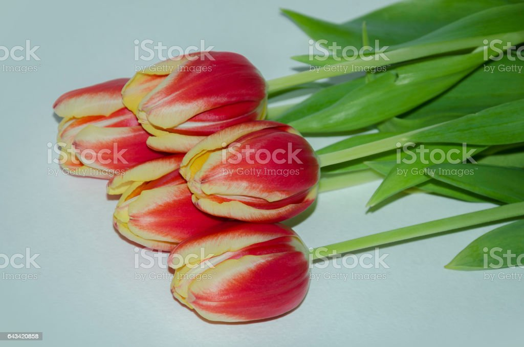 buds of red tulips stock photo