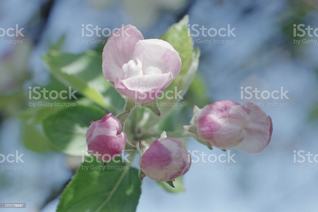 Buds of Spring royalty-free stock photo