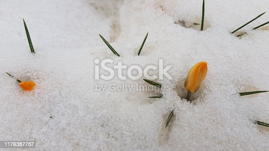 639394370 istock photo Buds of tiny yellow crocus flowers sprouted through white snow cover. Melted snow around green blade leaves of crocus plant. Blooming of spring flowers. Winter textures. Spring background 1176387757