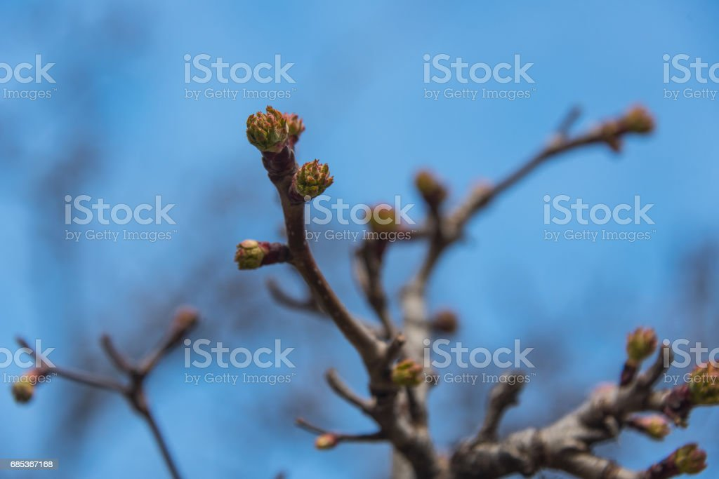 Buds on a tree foto de stock royalty-free