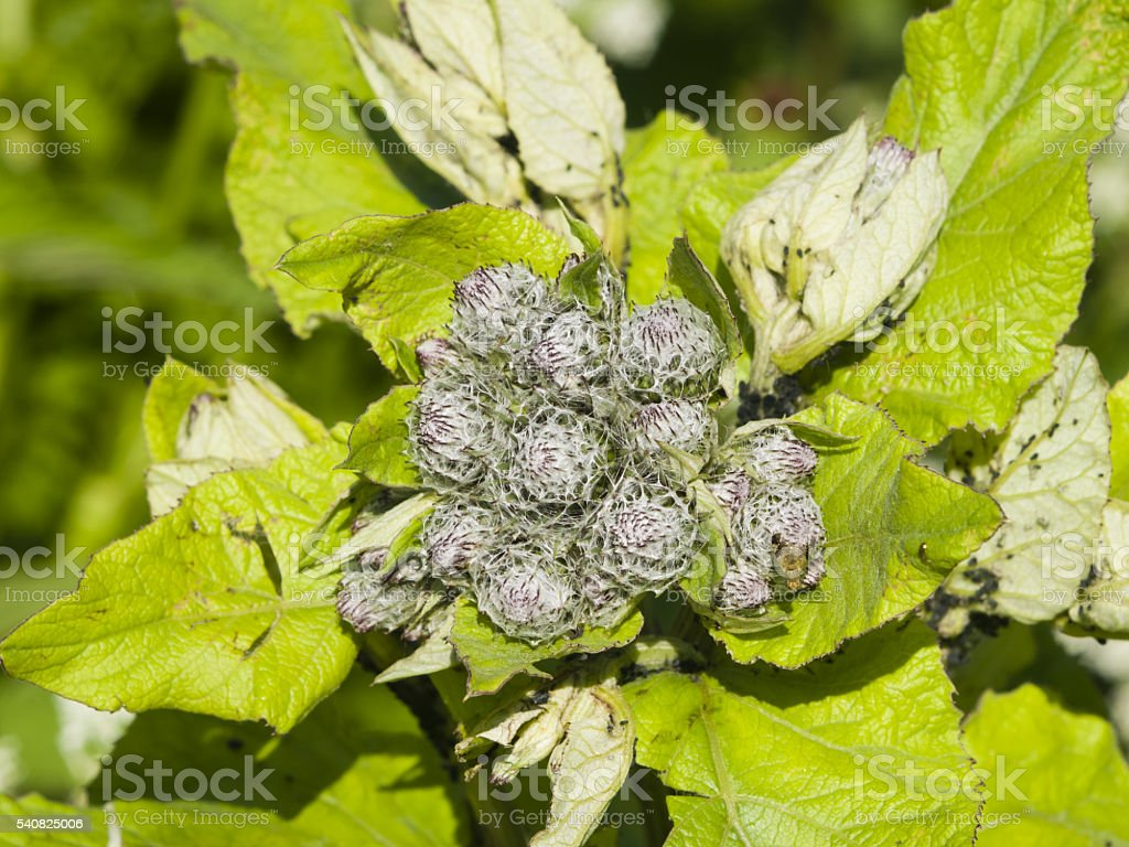 Buds On Greater Burdock Arctium Lappa Macro Selective Focus Stock Use In Photography For Dummies Royalty Free