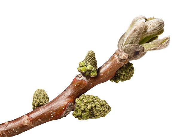 Buds on walnut brunch stock photo