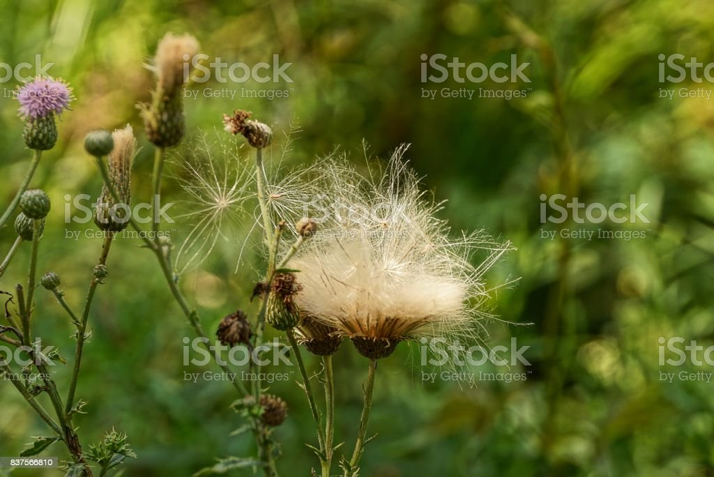 Buds with fluff on the stem of a wild plant in the park stock photo