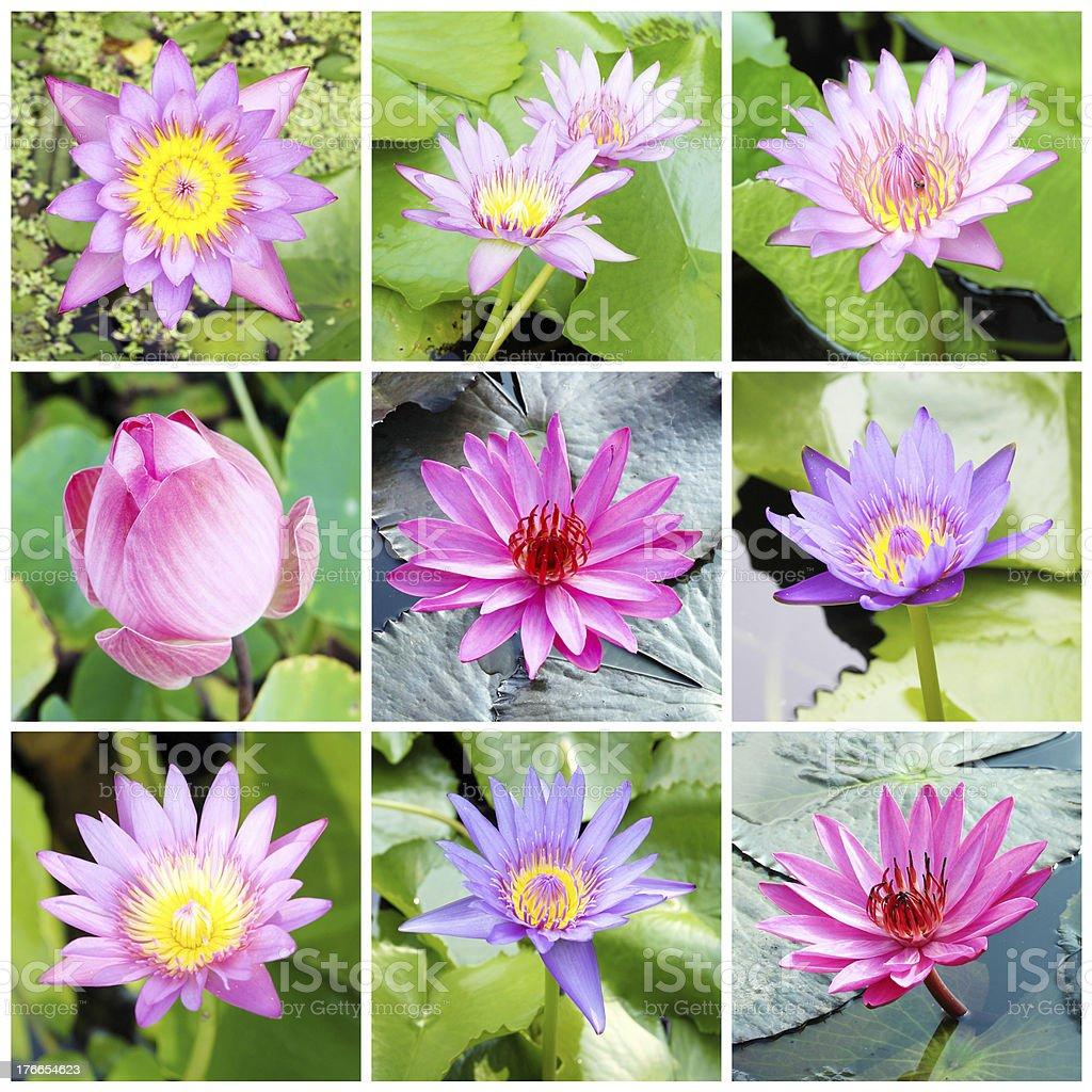 9 bueatiful  lotus collection royalty-free stock photo