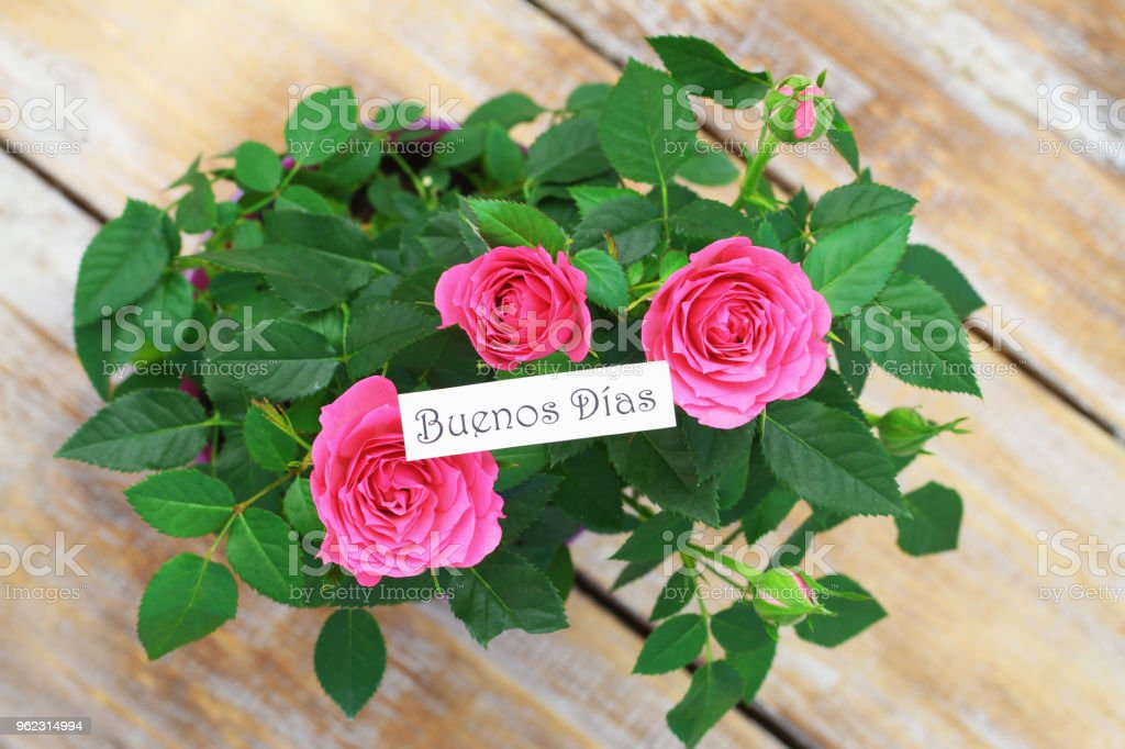 Buenos Dias (Good morning in Spanish) with pink wild roses stock photo