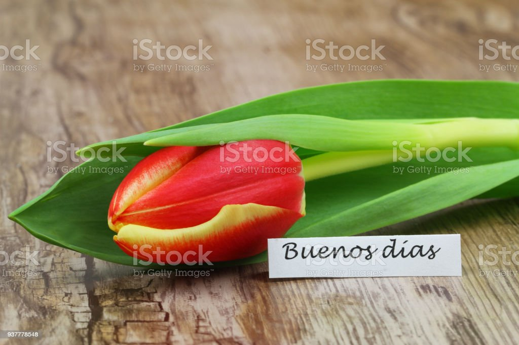Buenos Dias (which means Good morning in Spanish) with red and yellow tulip stock photo