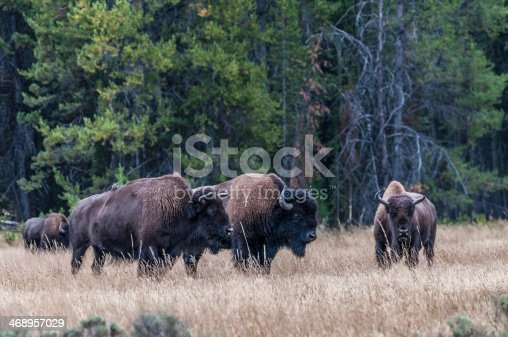 Buffalos at the Yellowstone National Park.