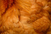 Biology: Close up of different chicken feathers.
