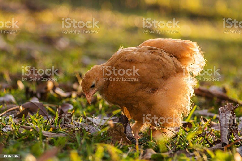 Buff cochin hen stock photo