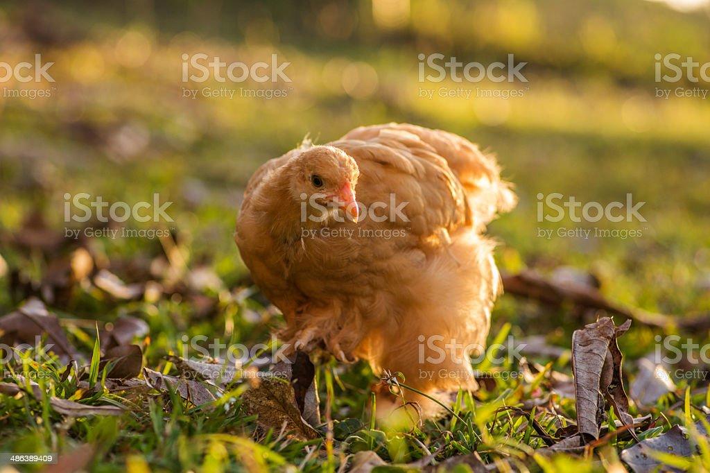 Buff cochin hen royalty-free stock photo