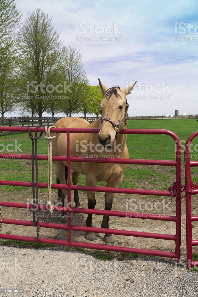 buff horse royalty-free stock photo