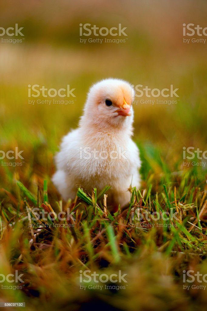 Buff Orpington Chick in Grass royalty-free stock photo