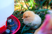 A cute, fluffy Buff Orpington chick sitting in grass next to a chicken waterer.