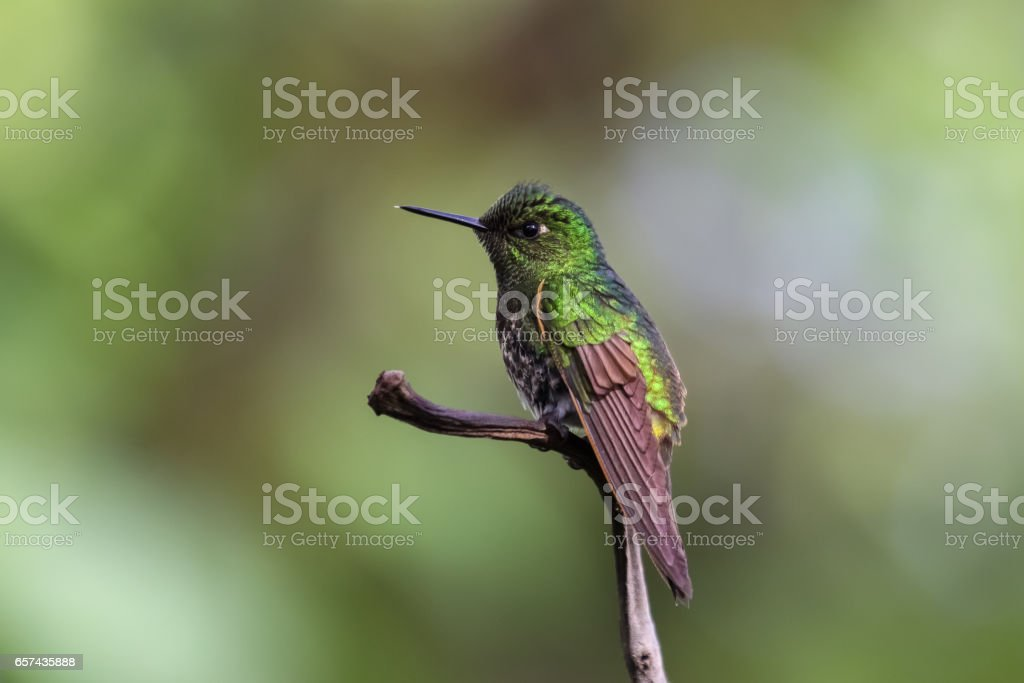 Buff tailed coronet hummingbird perching on a branch in the rainforest stock photo