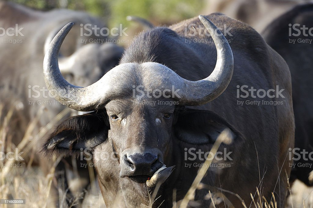 Buffalo 3, one of the big five royalty-free stock photo