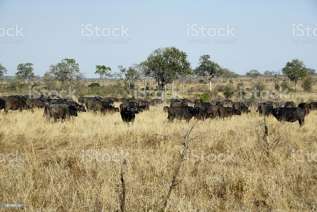 Buffalo 5, one of the big five royalty-free stock photo