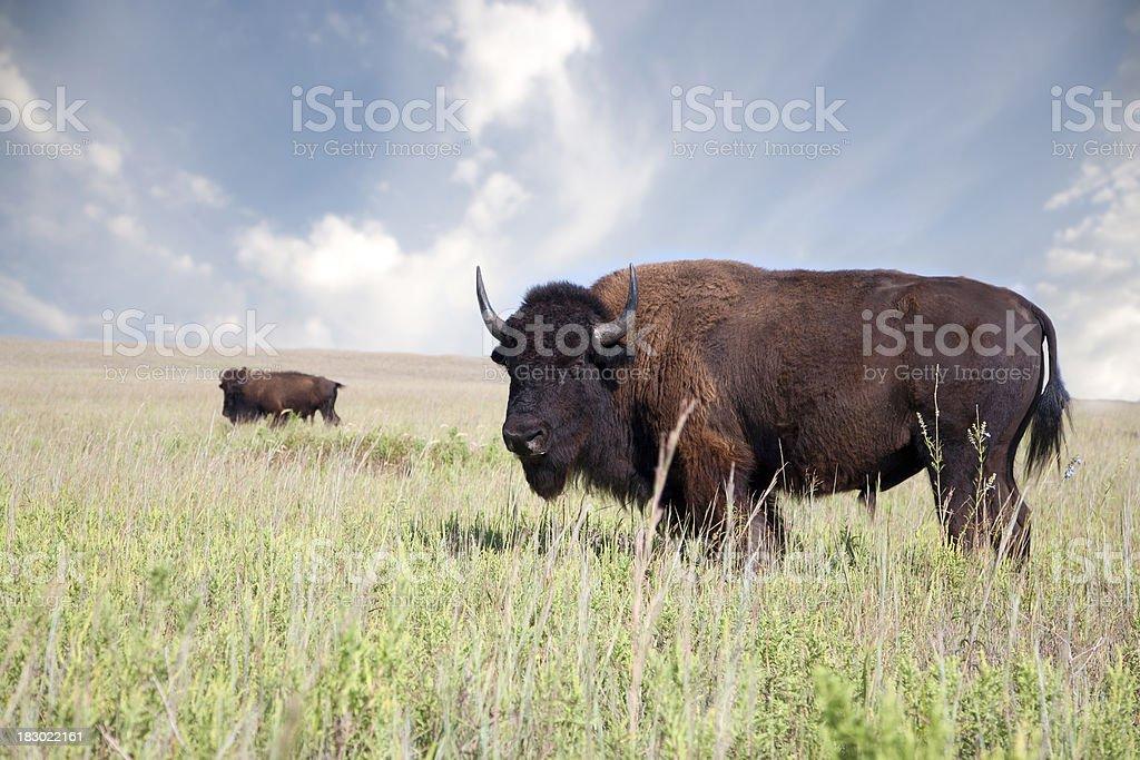 Buffalo an American Bison royalty-free stock photo