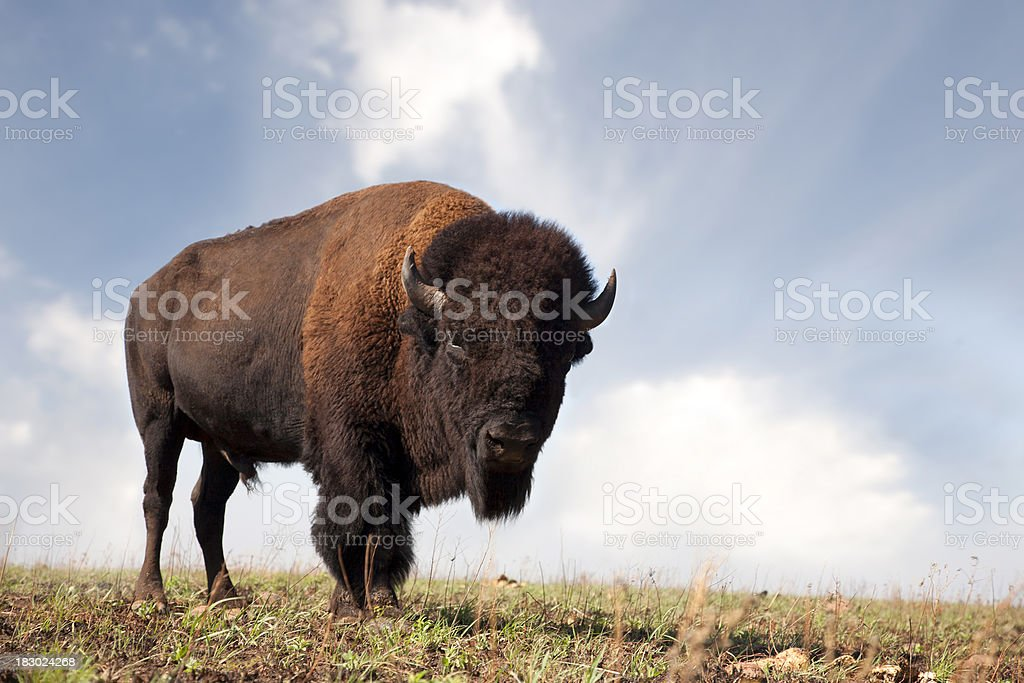 Buffalo an American Bison stock photo