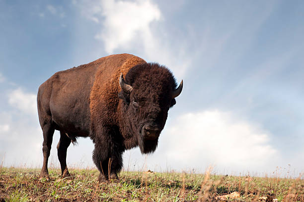 buffalo an american bison - great plains stock photos and pictures