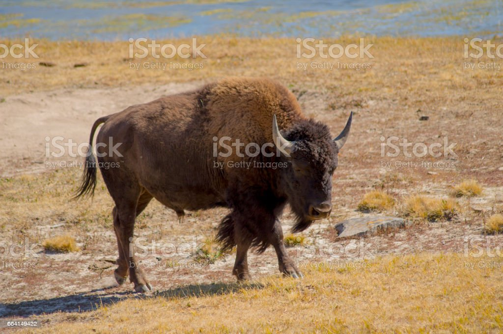 A Buffalo and her baby in Yellowstone National Park, USA foto stock royalty-free