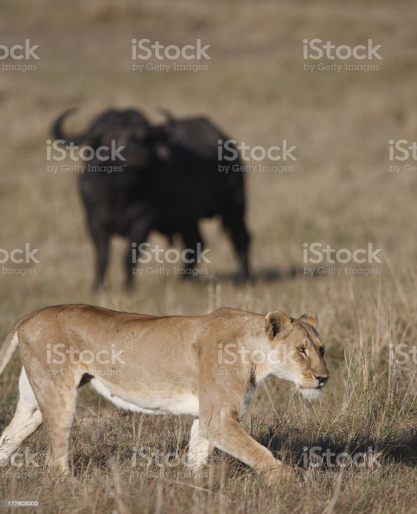 Buffalo and lioness royalty-free stock photo