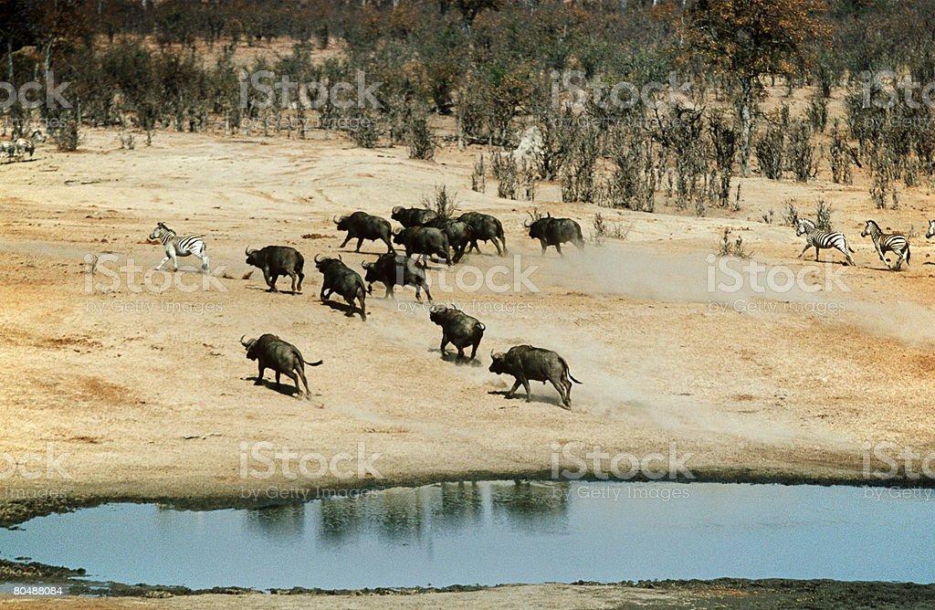 Buffalo and zebras 免版稅 stock photo