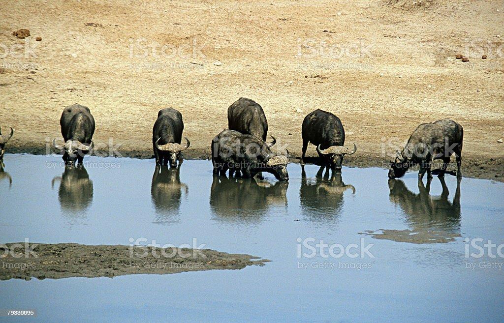 Buffalo at water hole royalty-free stock photo