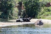 Buffalo at waterside