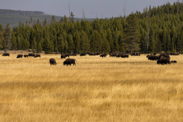 Buffalo at Yellowstone National Park in Wyoming stock photo